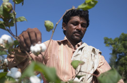 Indian cottong