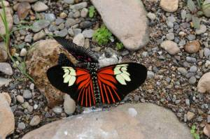 Butterfly-on-Rock