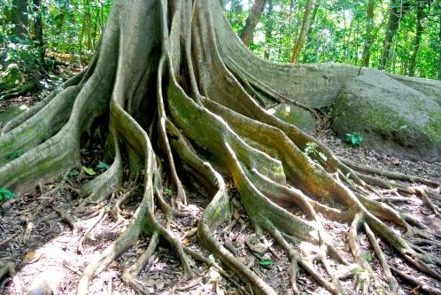 Matapalo Tree, Cost Rica