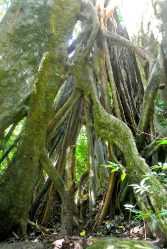 Matapalo tree