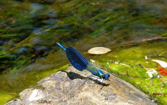 Beamillion_-_beautiful_blue_dragonfly_(by-sa)