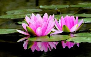 pink-lotus-109000