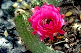 saguaro16