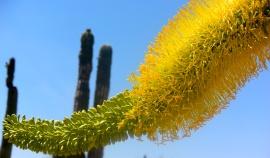 saguaro17