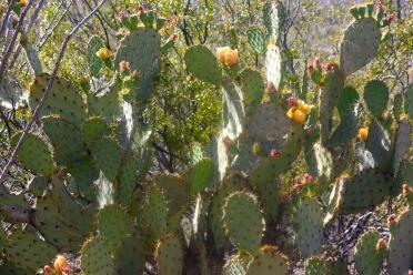 saguaro18