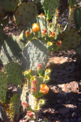 saguaro19