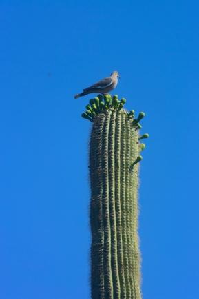 saguaro20