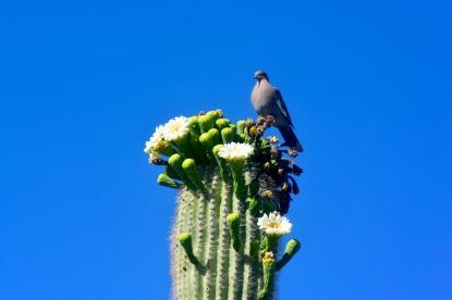 saguaro21