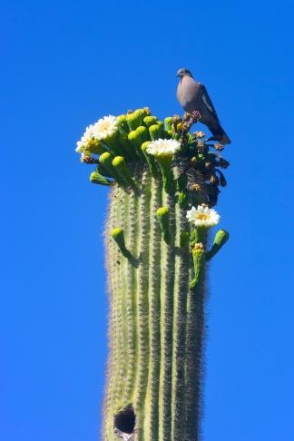 saguaro22