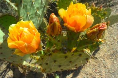 saguaro23