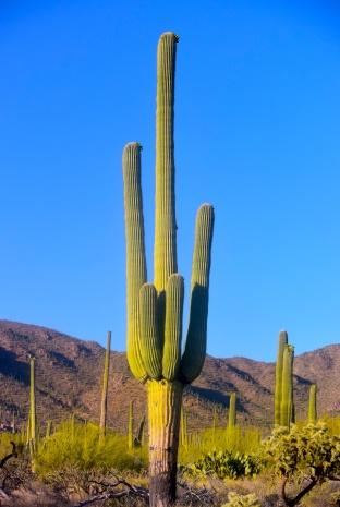 saguaro25