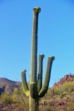 saguaro26