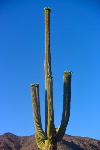 saguaro27