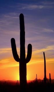 saguaro29