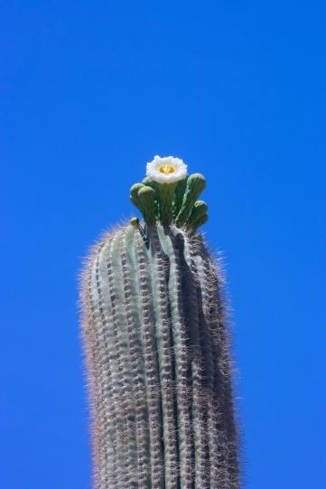 saguaro3