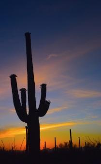 saguaro30