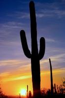 saguaro31