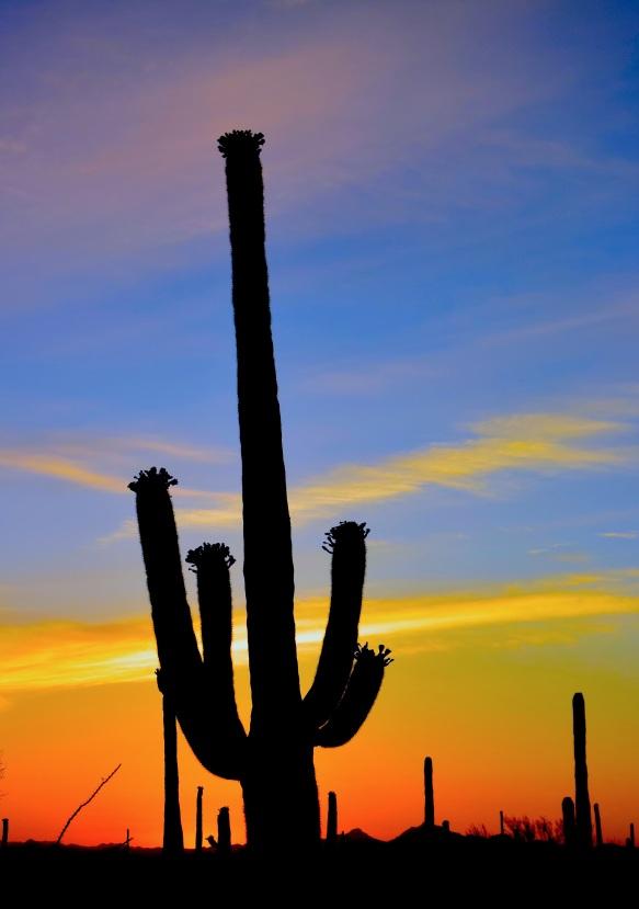 saguaro35