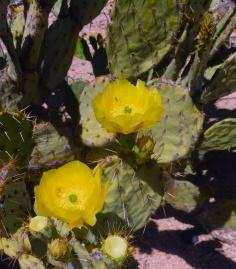 saguaro36