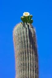 saguaro4