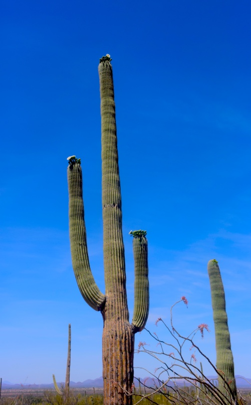 saguaro5